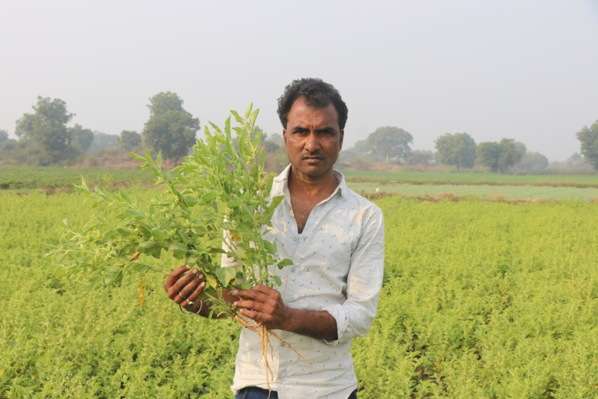 Madhya Pradesh: Khargone farmers opt for ashwagandha, cultivators take to medicinal plantation in a big way