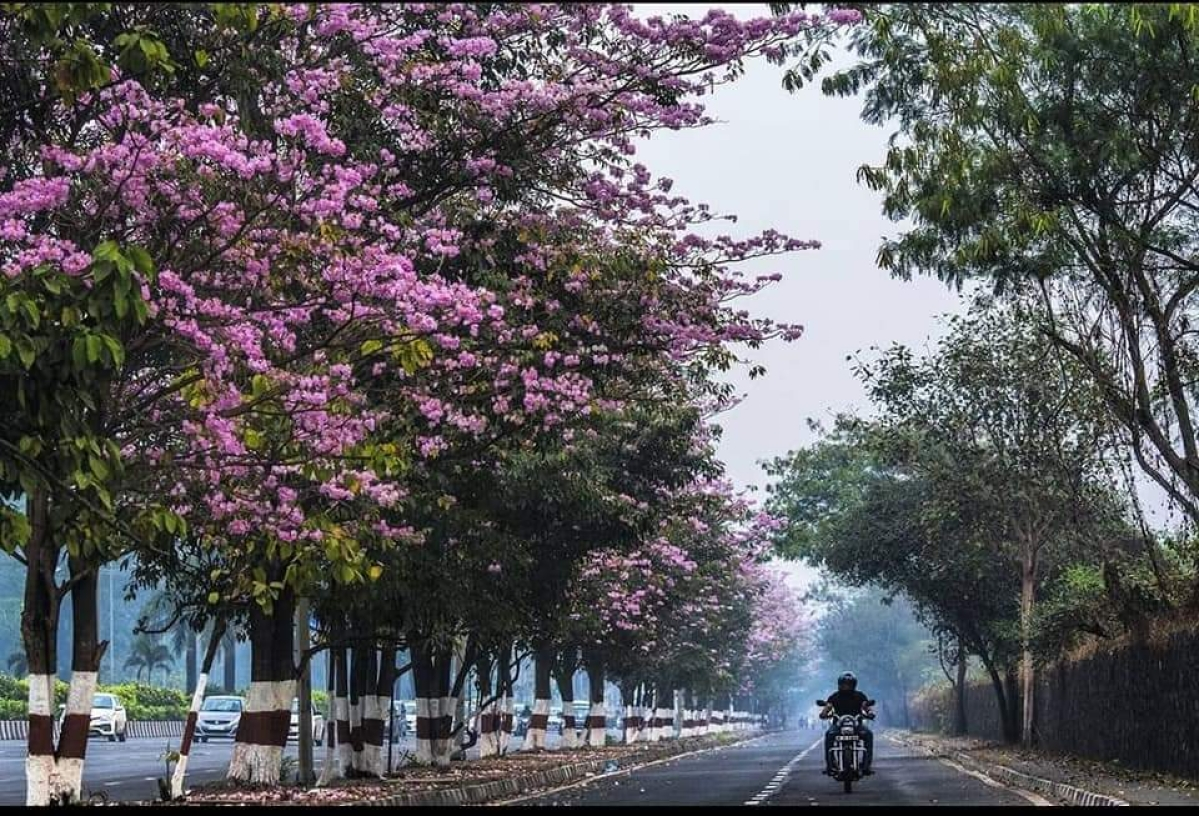 Mumbai is facing a biodiversity crisis because of its choice of avenue trees, writes Anil Singh