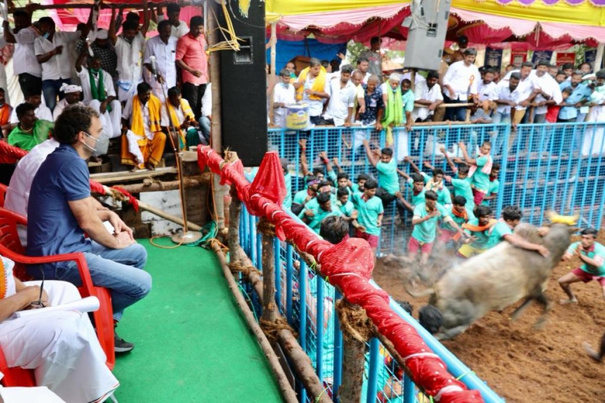 Rahul Gandhi enjoys jallikattu in Madurai, says 'my duty to protect Tamil history, culture and language'