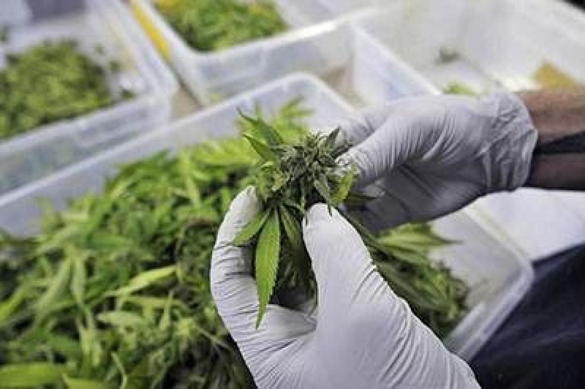 Marijuana case: NCB widens probe to other states