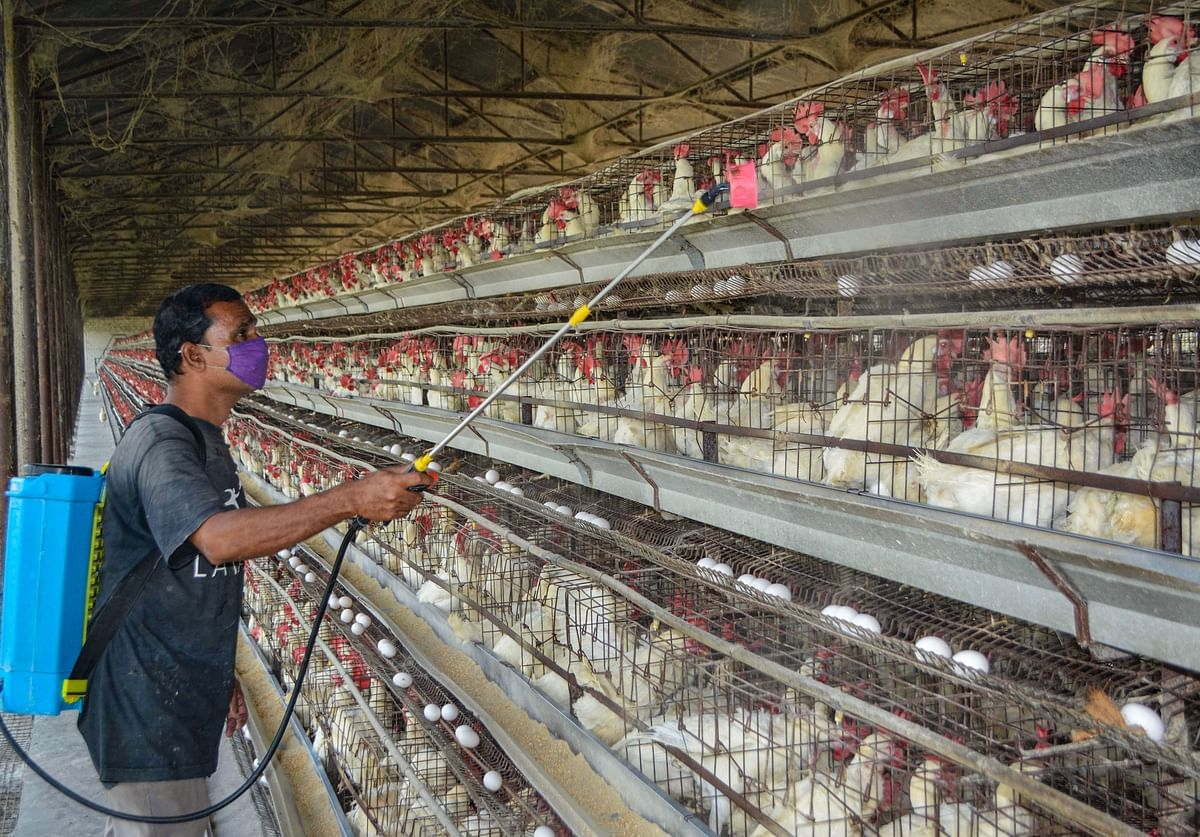 Bird flu in Maharashtra: 1804 birds, including 1755 poultry birds die