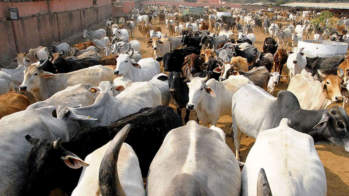 Bhopal: Gau Mata in state surviving on  borrowed fodder