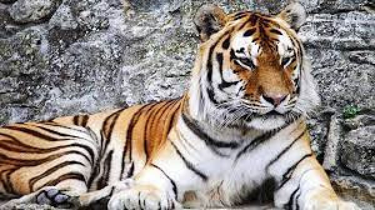 Madhya Pradesh: Tiger found dead in core area of Pench Tiger Reserve