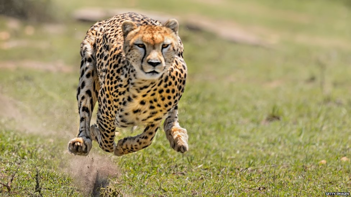 Kuno sanctuary set for cheetah                           re-introduction with least investment