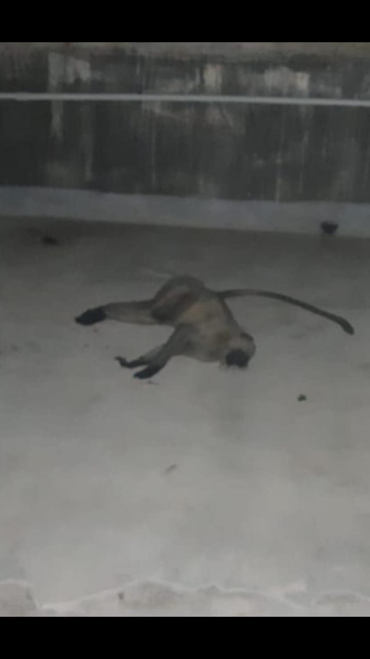 Dead monkey on terrace