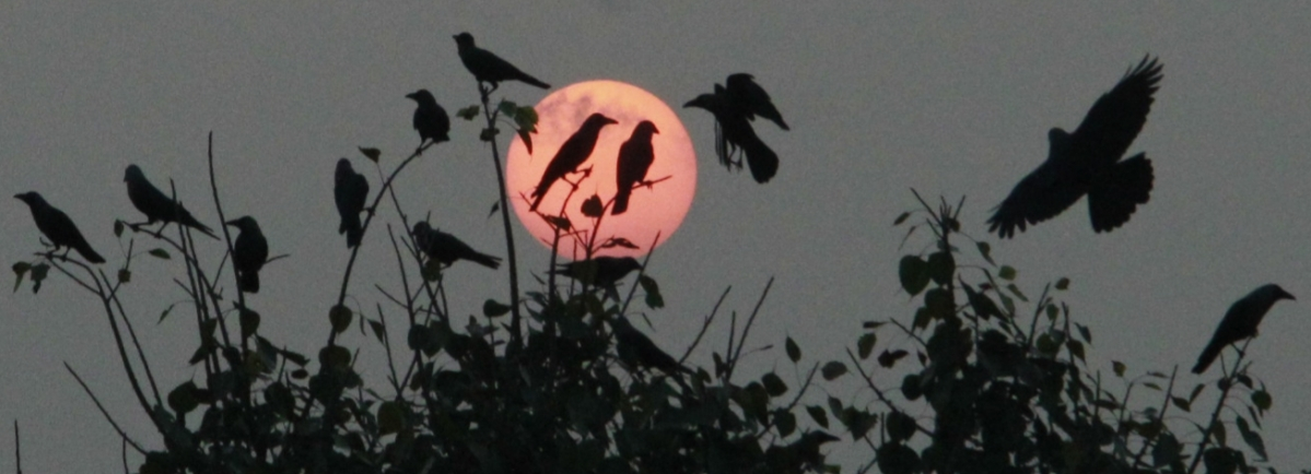 Indore: One 'flu' over the crow's nest, Sunset for crows as they feast on delicacies