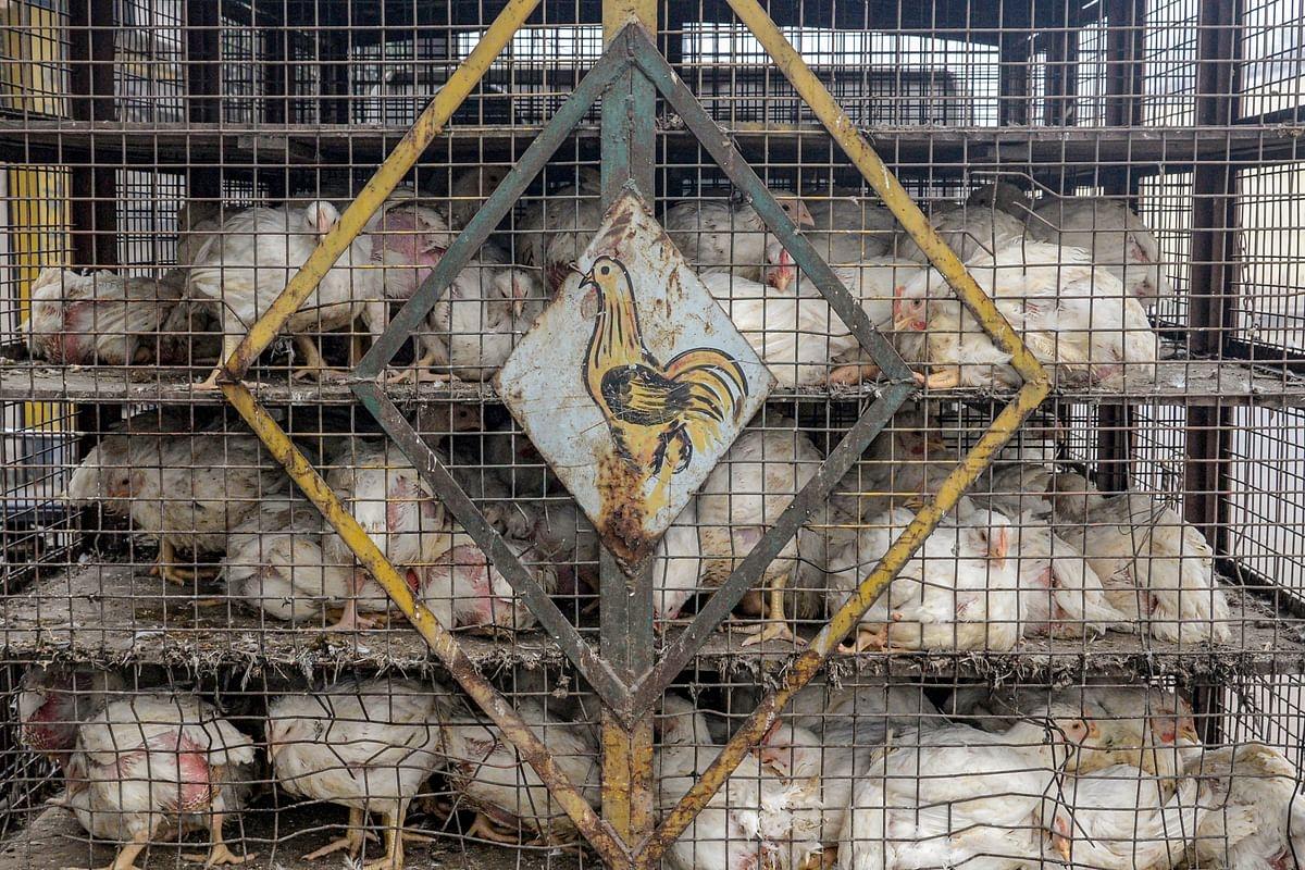 Bird flu in Maharashtra: 119 birds including 59 poultry birds found dead