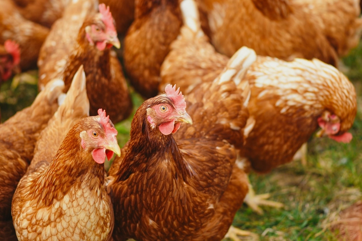 As bird flu spreads in Madhya Pradesh, bordering areas, experts say virus is heat-labile, gets killed at 'cooking temperature'