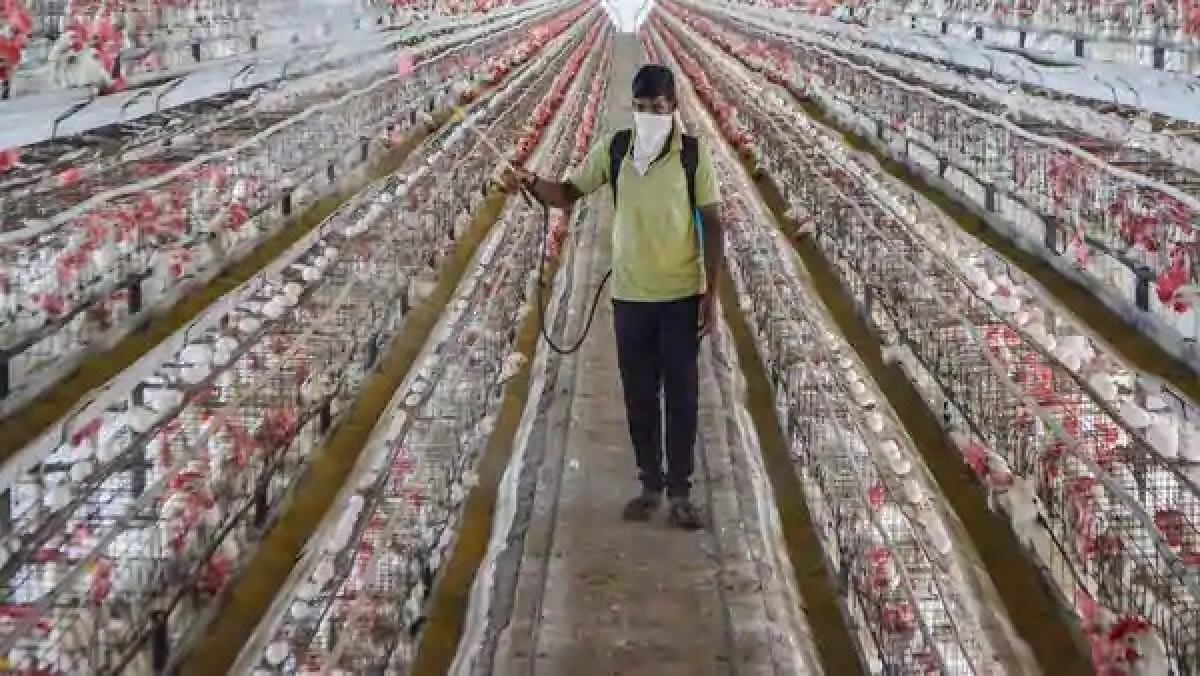 Avian flu confirmed in 9 states for poultry birds