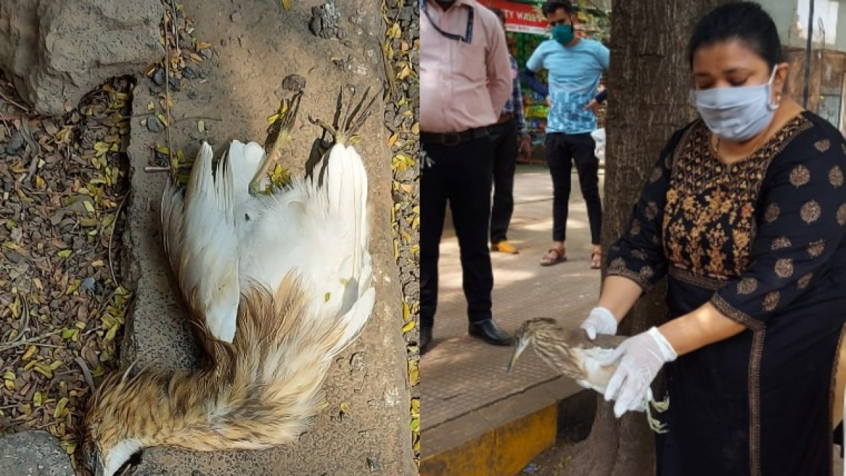 Thane: 15 pond herons found dead, cause of death yet to be confirmed
