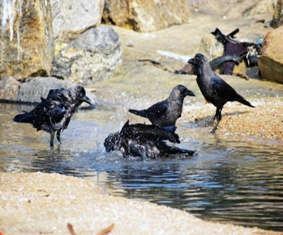 Crows near water body