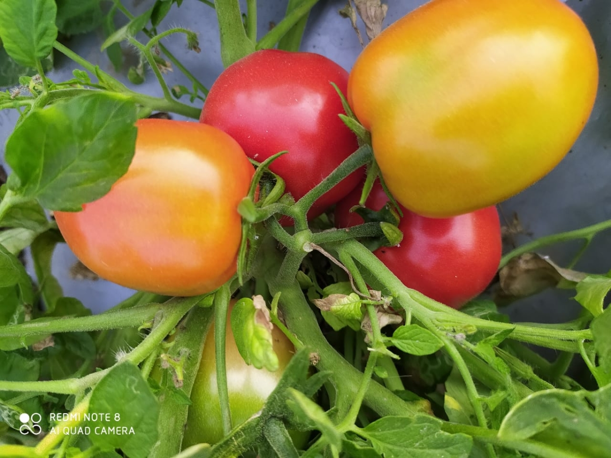 Tomatoes grown in Khargone district