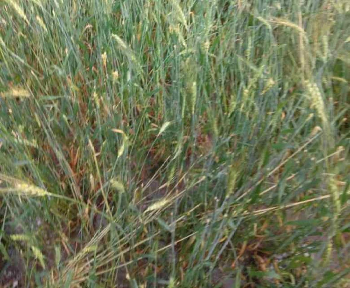 DHAR: Sardarpur MLA Pratap Grewal demands compensation, insurance for crops damaged due to unseasonal rain