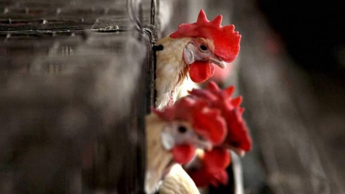 Bird flu in Maharashtra: 4,581 birds including a record 4,562 poultry birds found dead