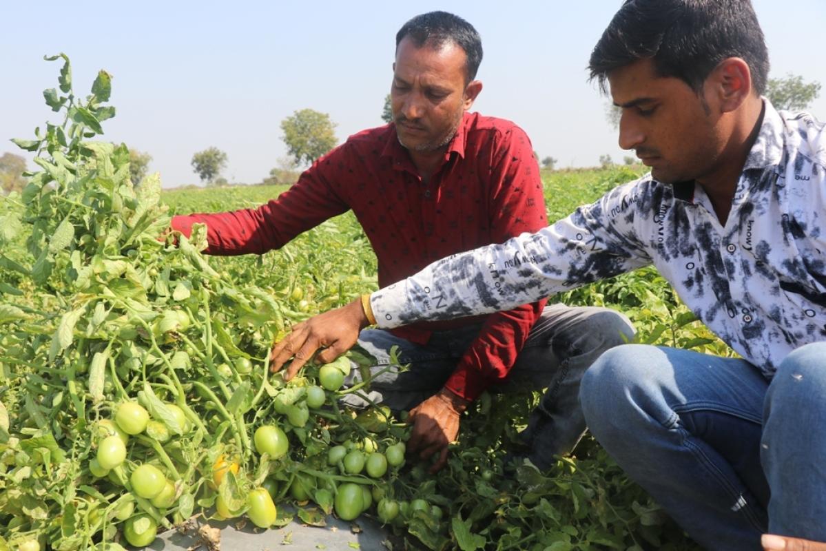 Rajesh Kumravat, Vicky Kumravat show tomato crops on their farms