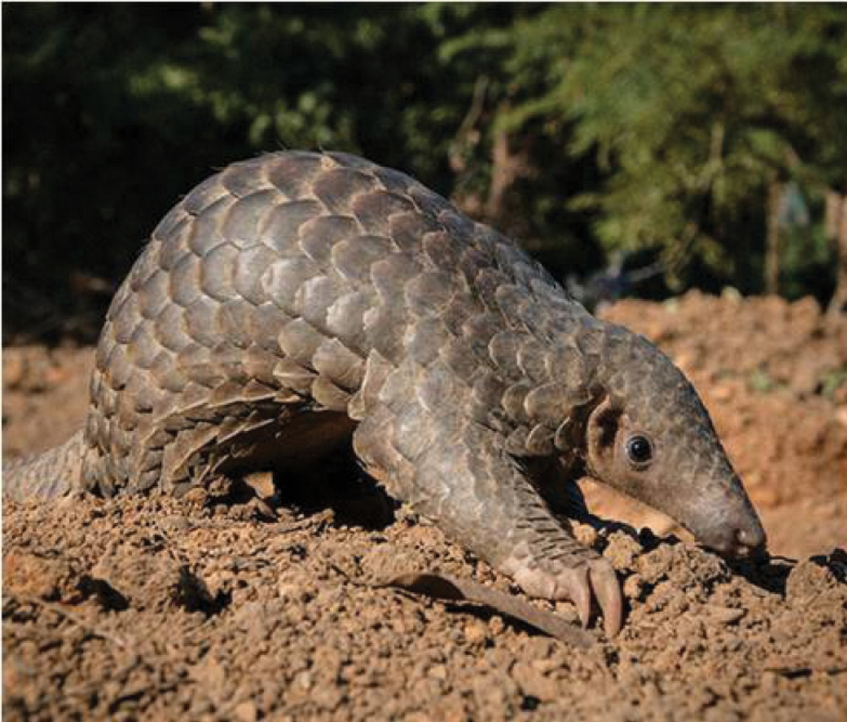 Indore: ​Lockdown gives a boost to illegal trade in pangolin scales​, more than 100 cases registered last year