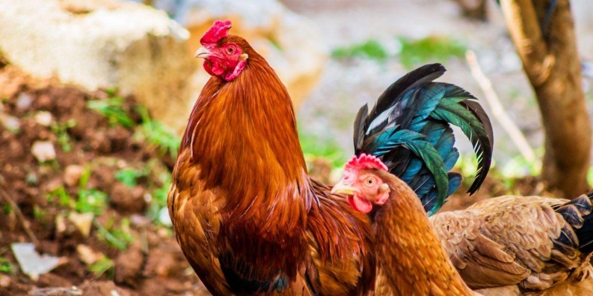 Bird flu in Maharashtra: 128 poultry birds dead