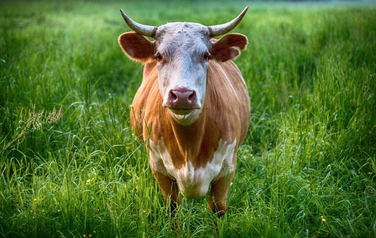 No difference between Indian and foreign cows? Govt contradicts info given in cow exam syllabus