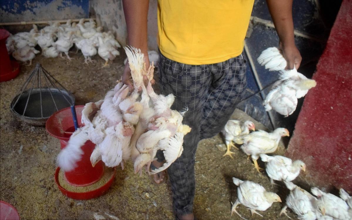Bird Flu in Maharashtra: 44 poultry birds found dead