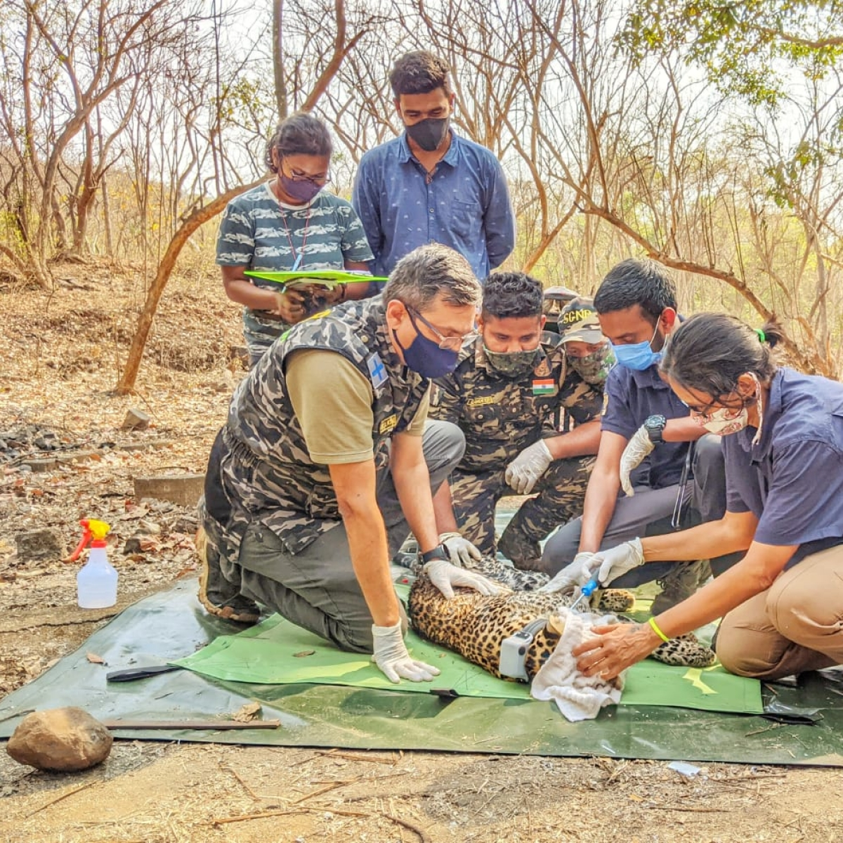 Mumbai: Sanjay Gandhi National Park radio-collars leopard, paves way for decoding the life of big cats in the city