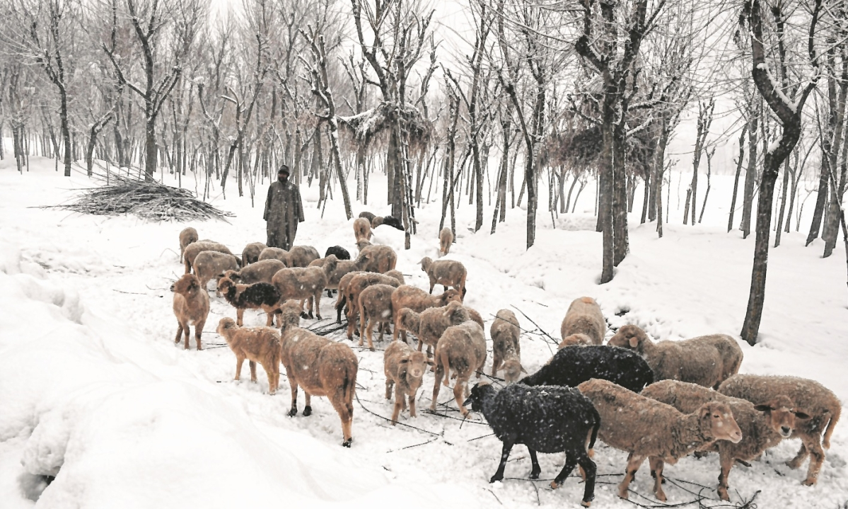 A shepherd along with a herd of sheep during snowfall, at Ahlan village in South Kashmir on Friday.