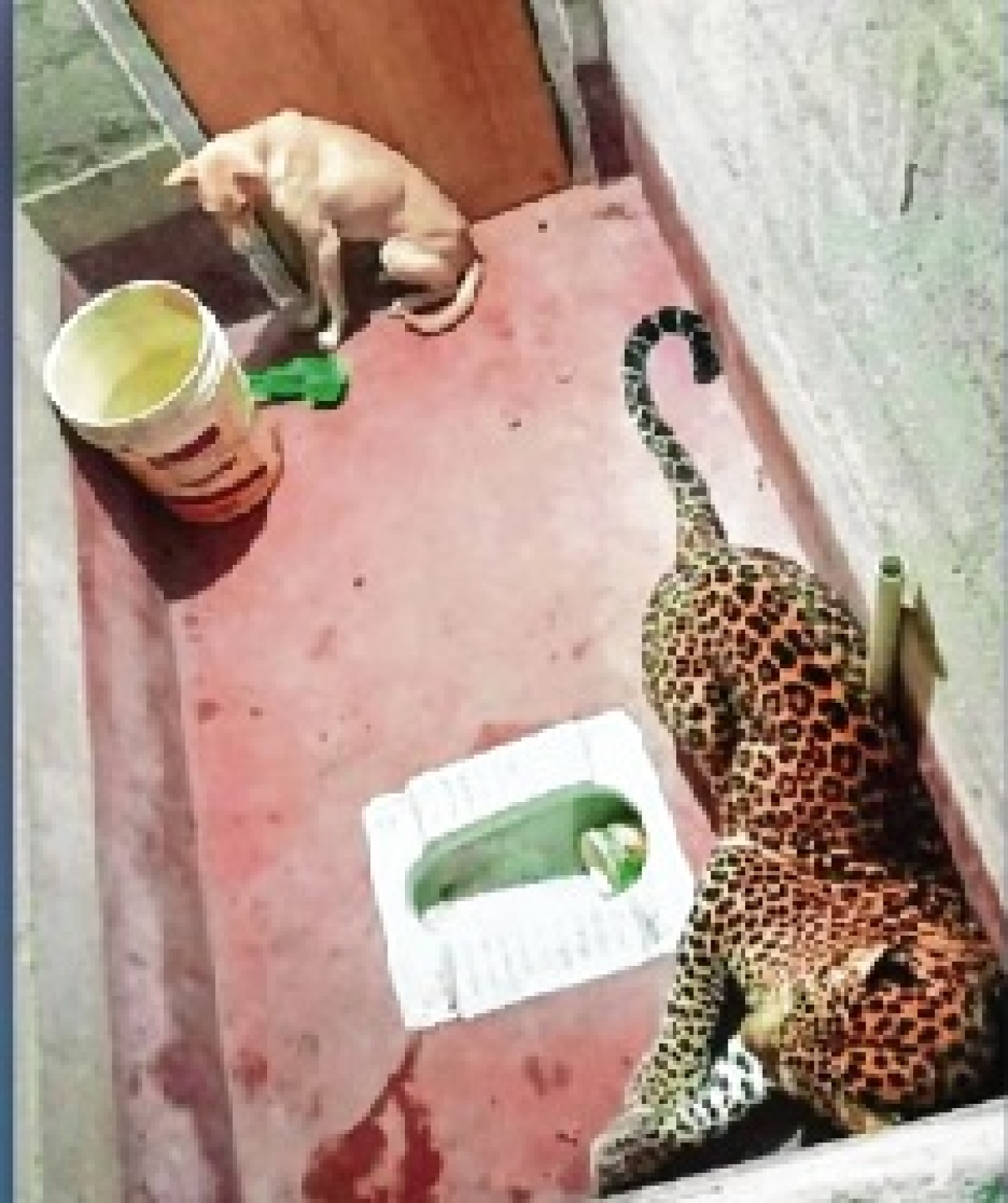 Tale of leopard & a dog in a toilet