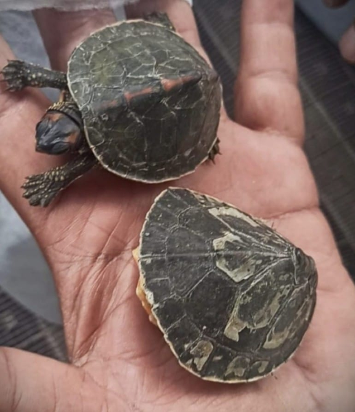 Indore: Man held with 2 Australian turtles worth Rs 2L that he had taken from a man in Bhopal