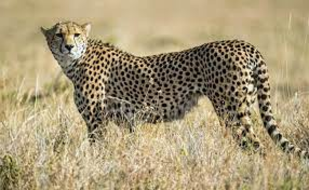 Bhopal: From Africa to Kuno, 8 cheetahs expected by year-end, NTCA allots Rs 14 crore for cheetah translocation