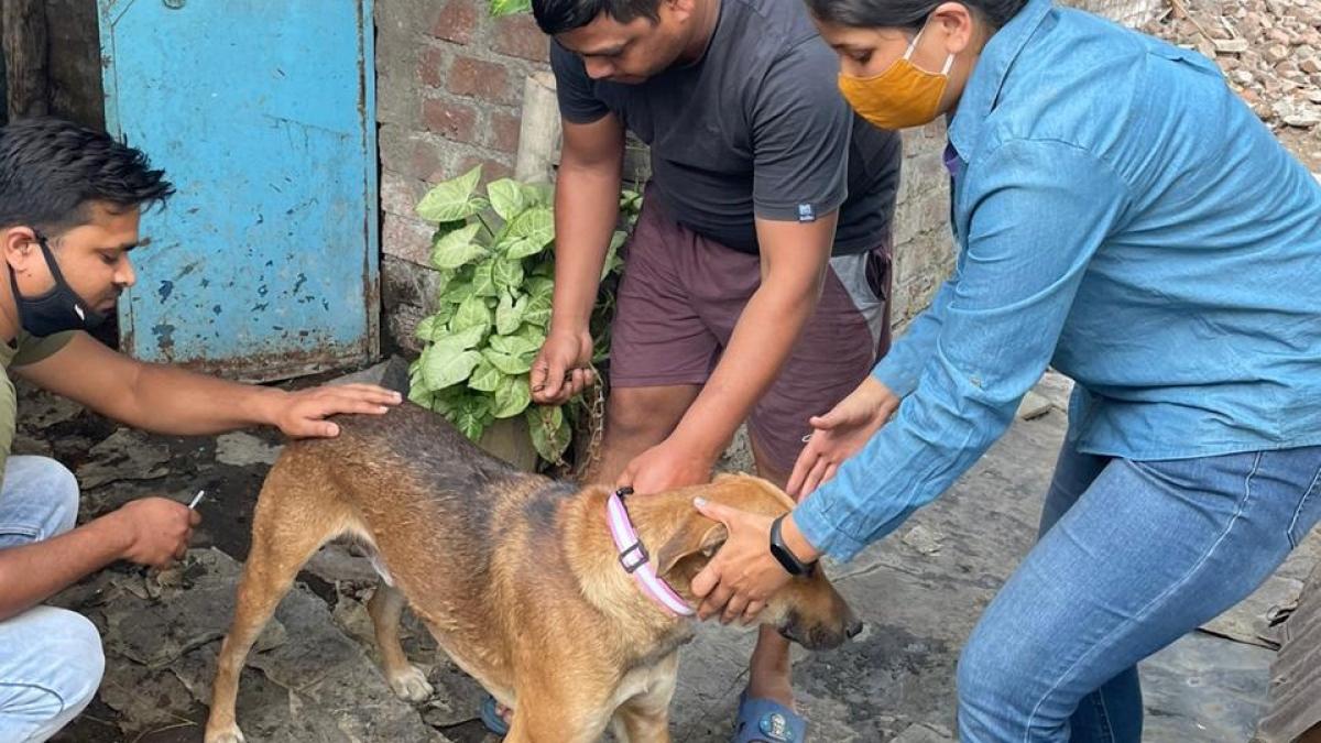 Sterilisation drive of stray dogs