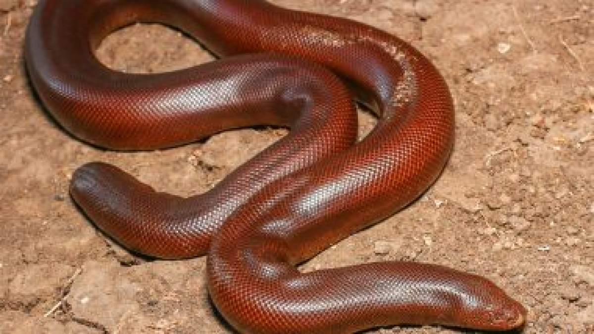 Chhattisgarh: Four smugglers arrested in Raipur with endangered red sand boa
