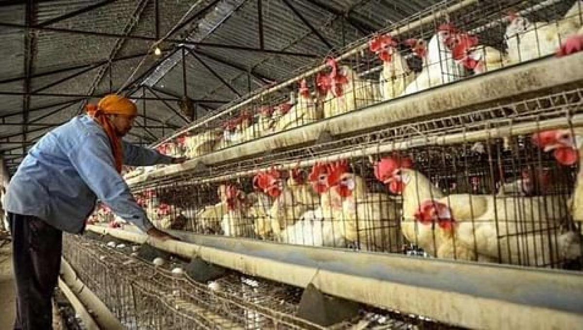 Mumbai: 53 poultry birds succumb to avian influenza in Maharashtra