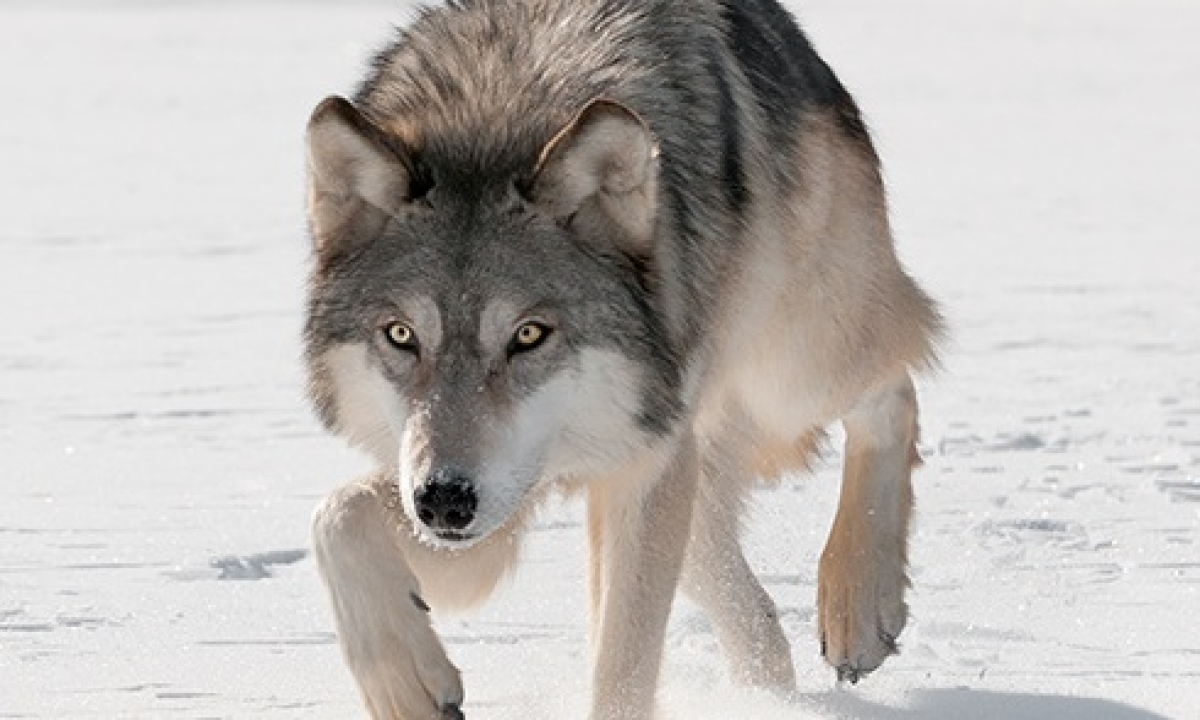 How grey wolves survived ice age extinction