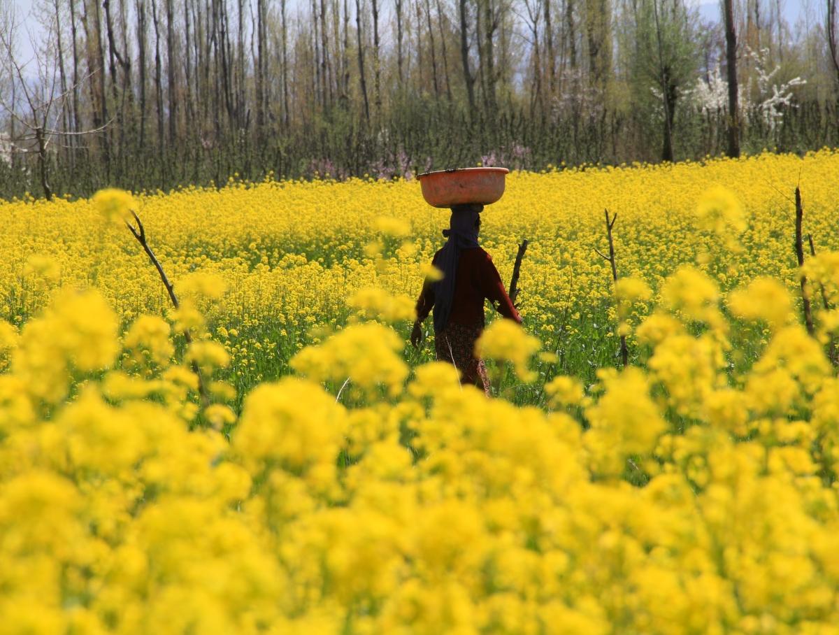 A Kashmiri Muslim woman carrying willow basket, walks past a blooming mustard field on the outskirts of Srinagar, Kashmir.