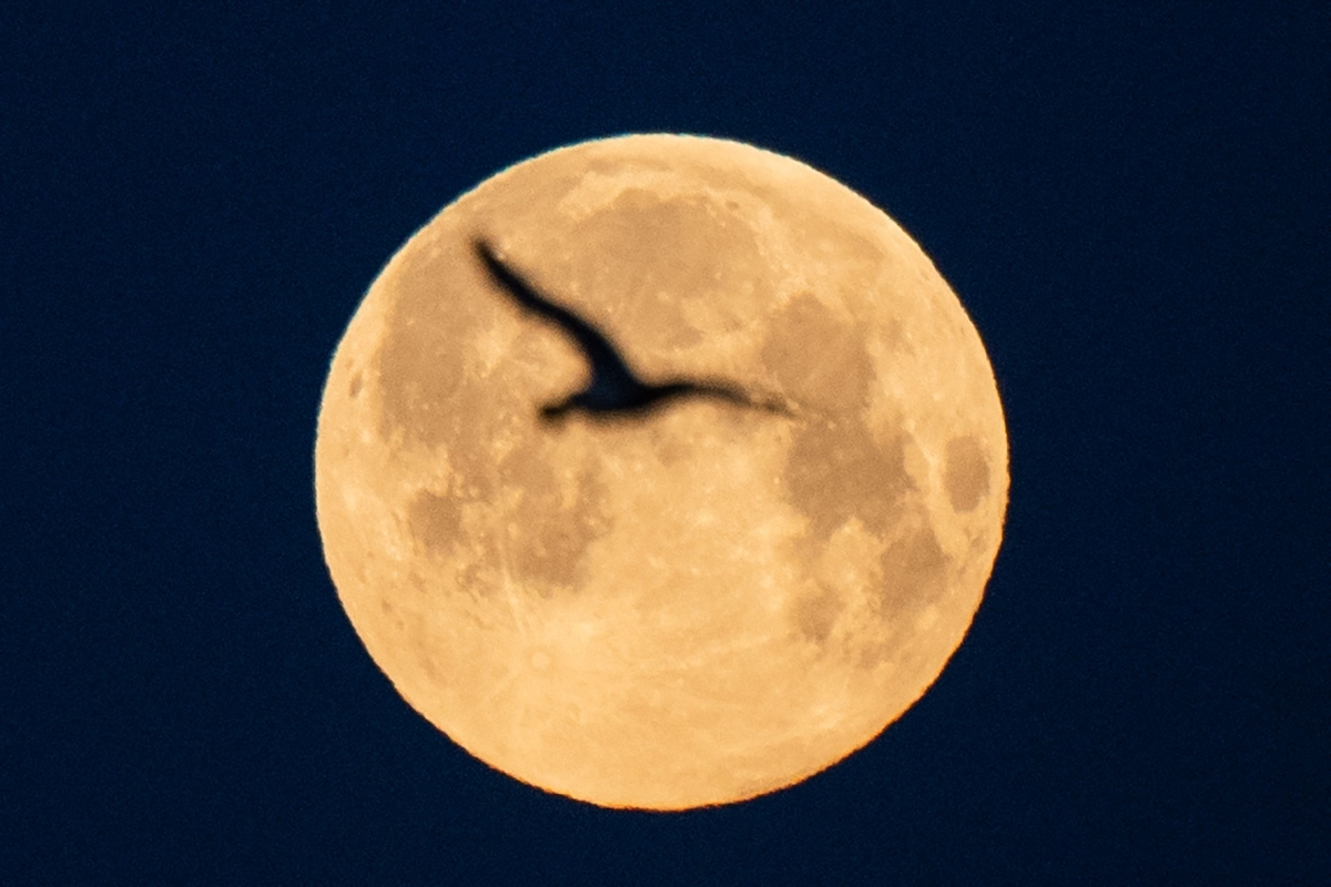 A seagull flies as the full moon of April, called the Super Pink Moon, sets on April 27, 2021 in Lorient, western France.