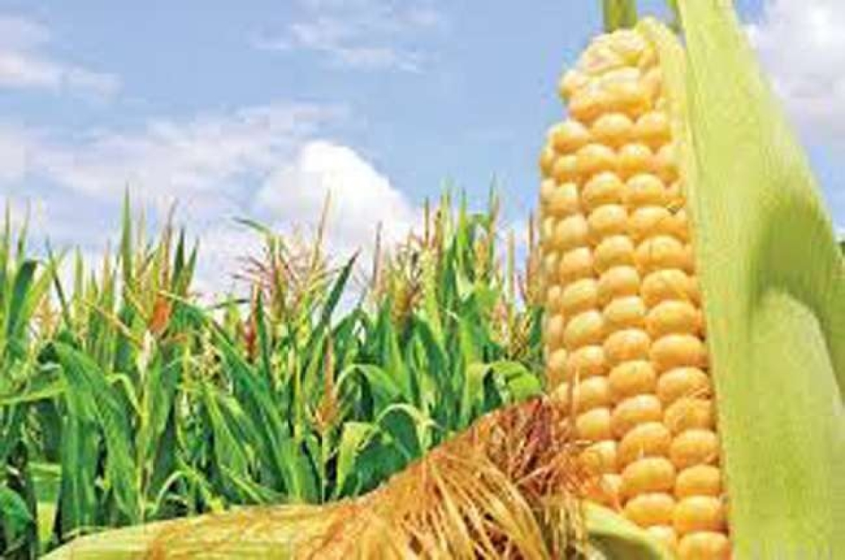 Bhopal: Pvt and govt sector should work together to strengthen maize value chain, says minister Dattigaon