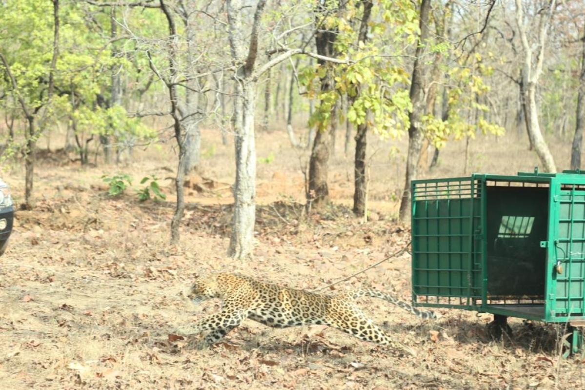 The leopard being released to Ratapani forest after successful treatment.