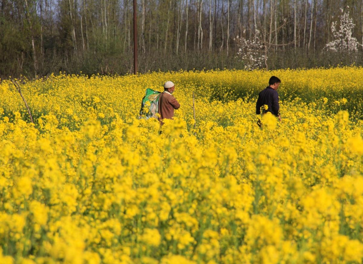 Kashmiri farmers walk through a mustard field on the outskirts of Srinagar, Kashmir.