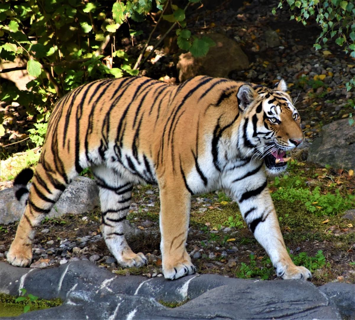 Maharashtra: 4-year-old pregnant tigress found dead in Yavatmal