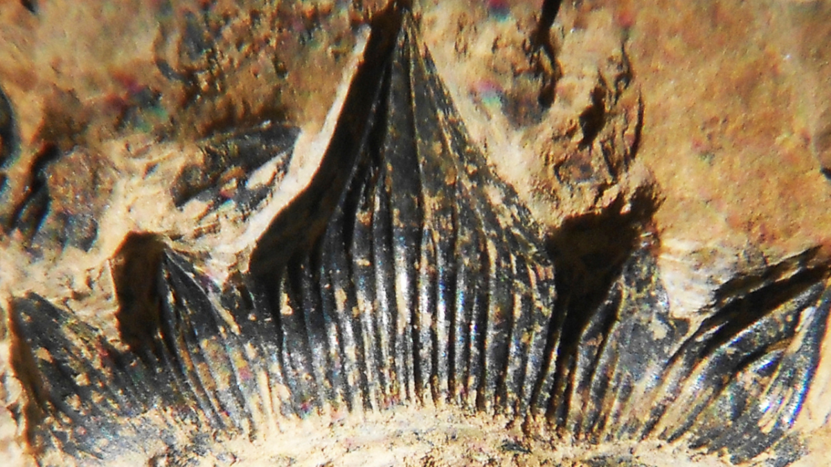 New Mexico's 300-million-year-old 'Godzilla' shark gets its official name