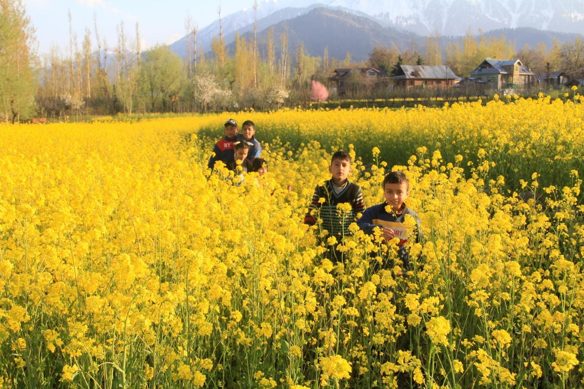 Kashmiri children walk through the mustard field on the outskirts of Srinagar, Kashmir.