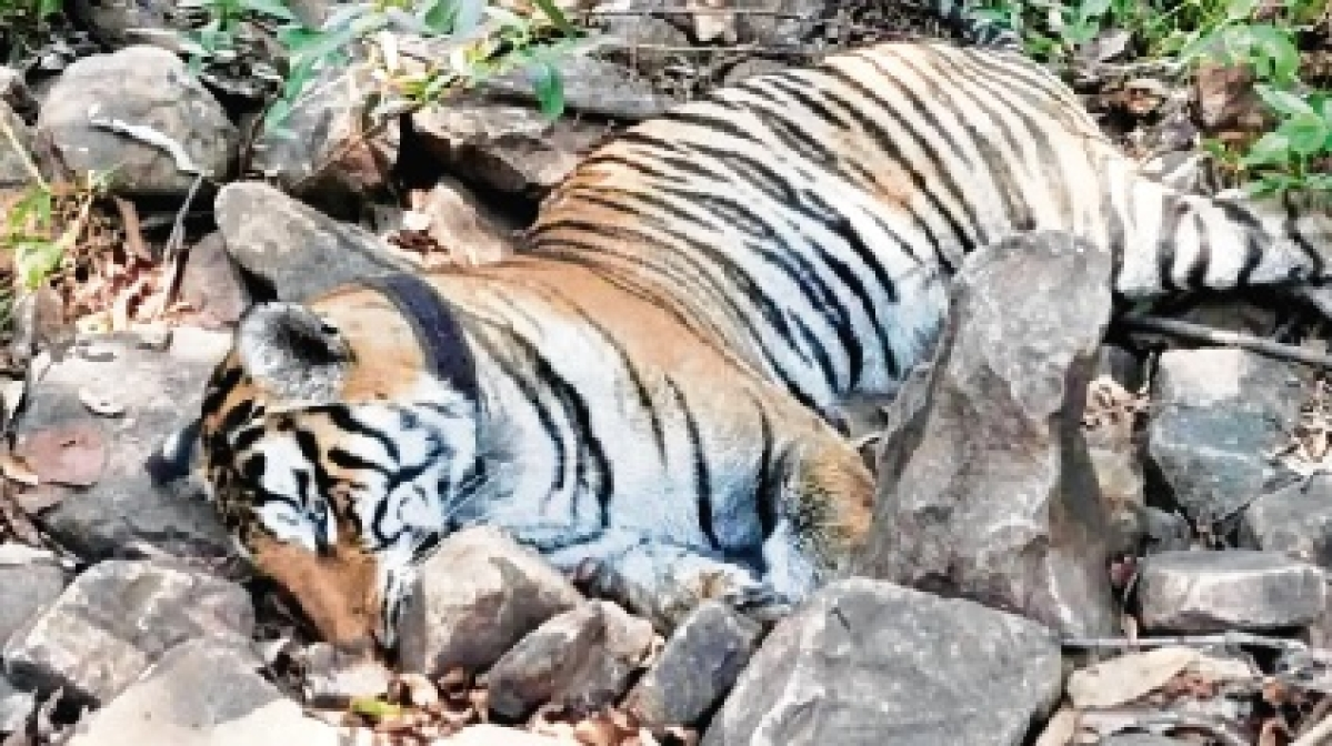 Tigress found dead in Panna Tiger Reserve; 4th in 10 days