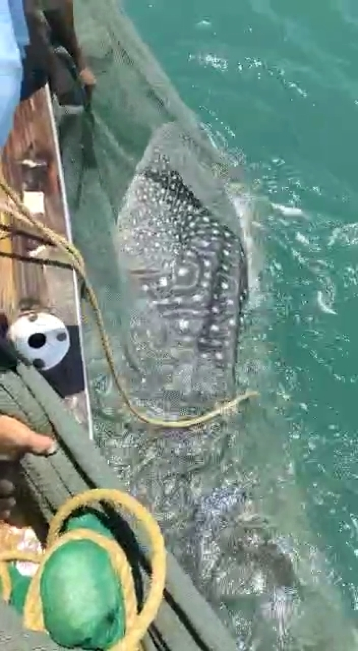 Uttan: Caught in their net, fishermen release rare whale shark back into the sea -- see pics