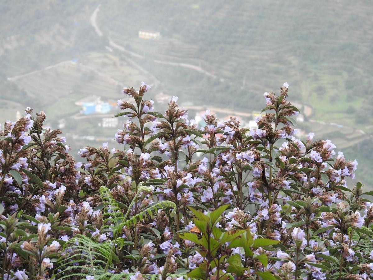 Neelakurunji flowers