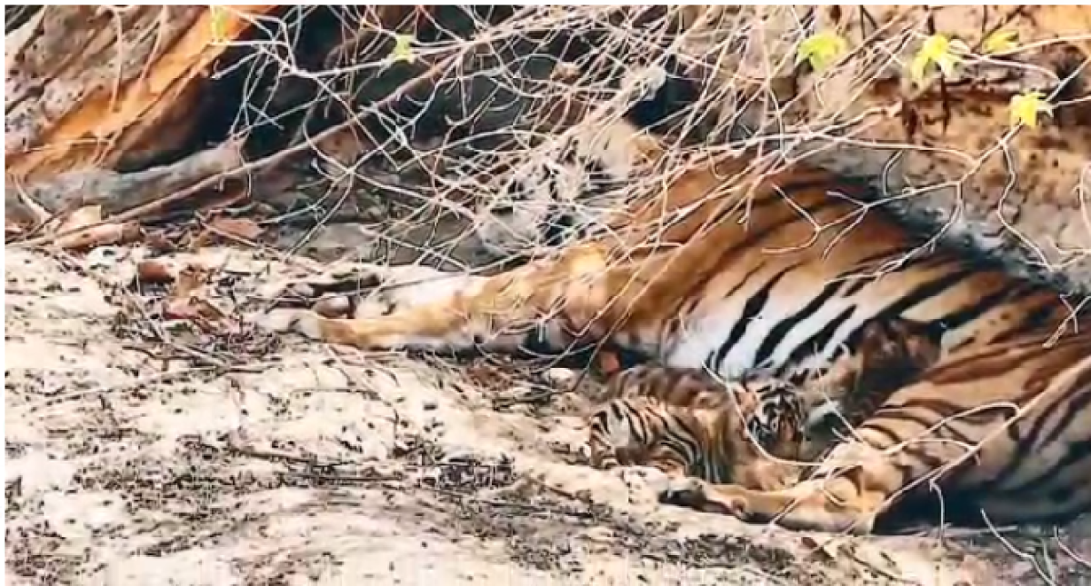 Bhopal: Forest minister reviews preparedness of STR, clicks tigress and 4 cubs