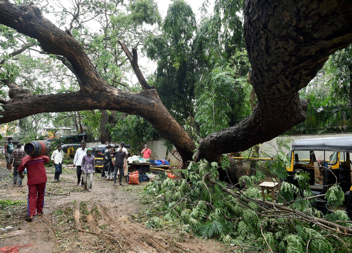 An uprooted after a storm triggered by Cyclone Tauktae, at Khar in Mumbai