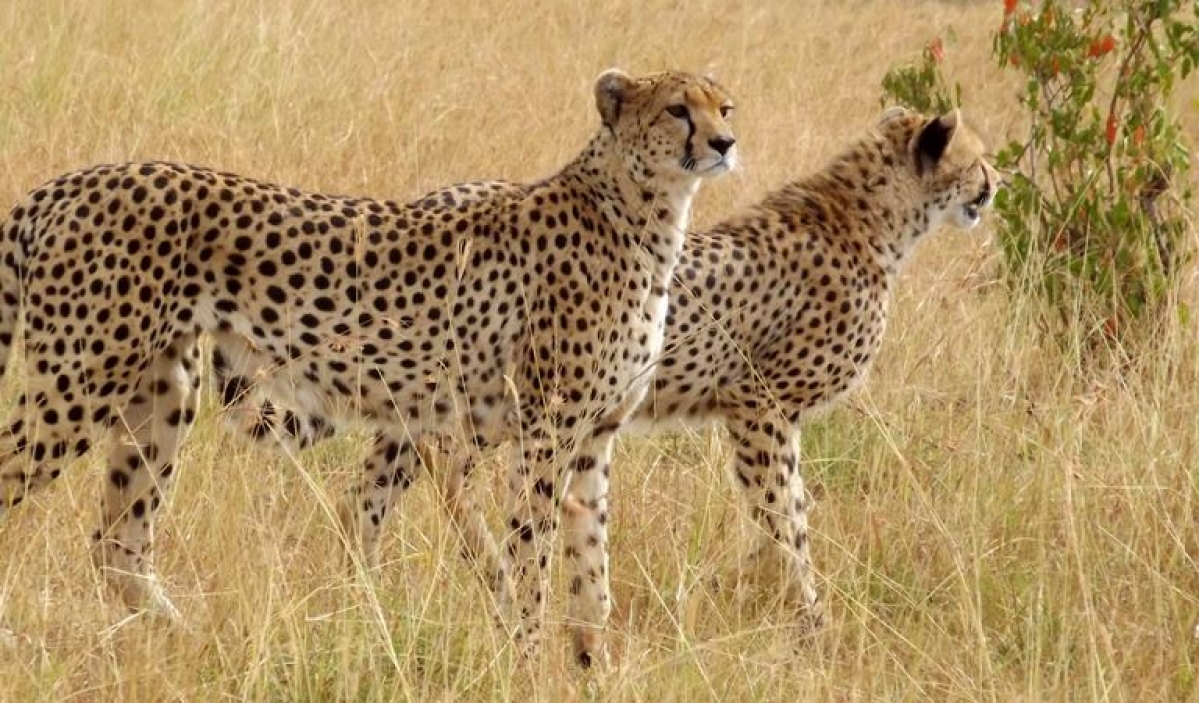 The country's last spotted cheetah died in Chhattisgarh in 1947 and it was declared extinct in the country in 1952