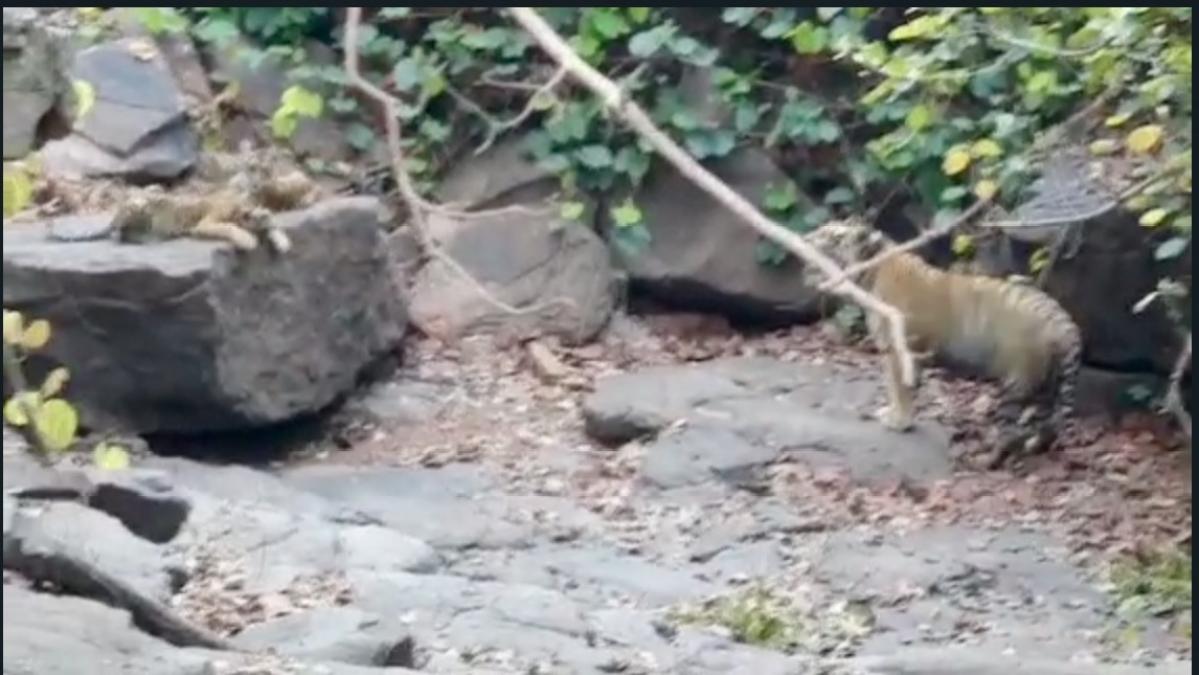 Madhya Pradesh: Male tiger nurtures its four cubs at Panna Tiger Reserve