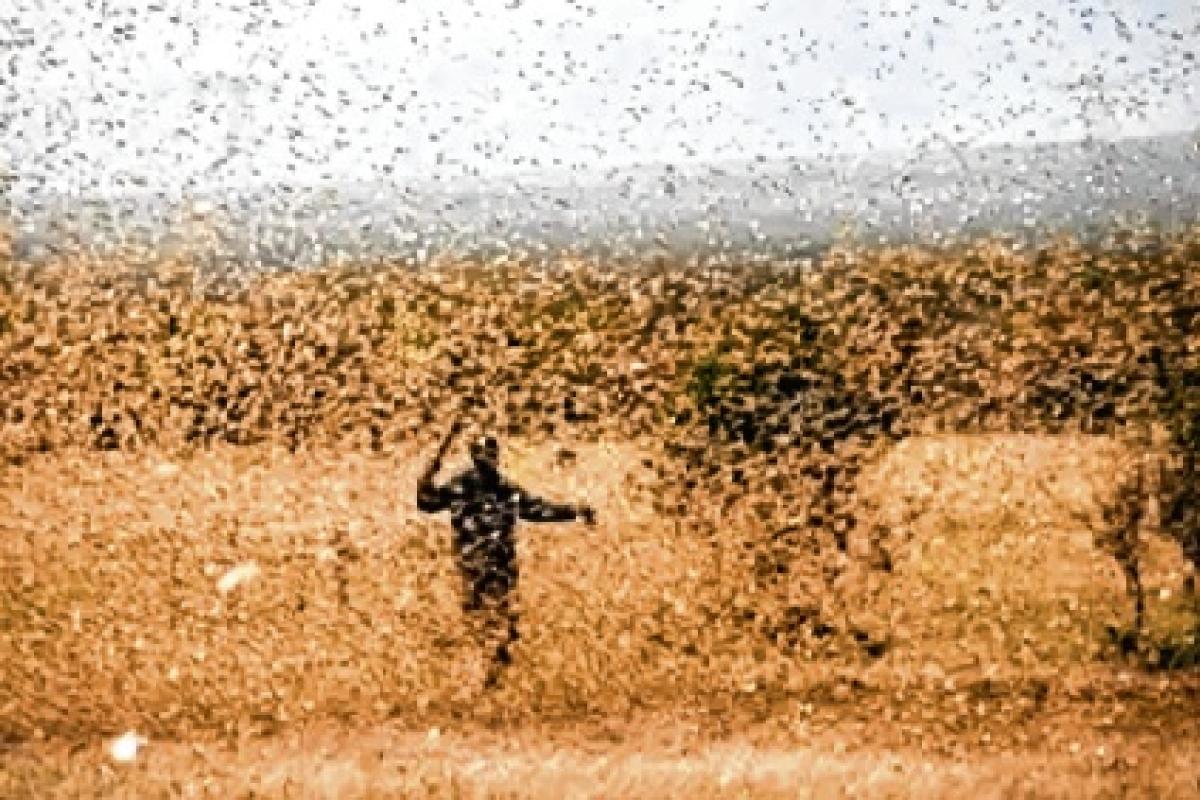 Ryots warned of locust attack in Uttar Pradesh's Aligarh district