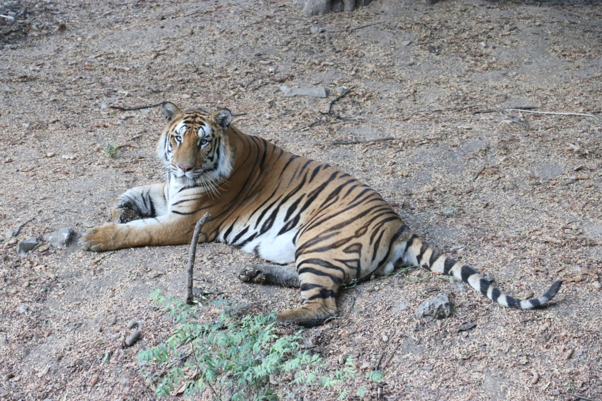 Indore: Boiled meat for lions, tigers in a bid to keep zoo animals away from corona