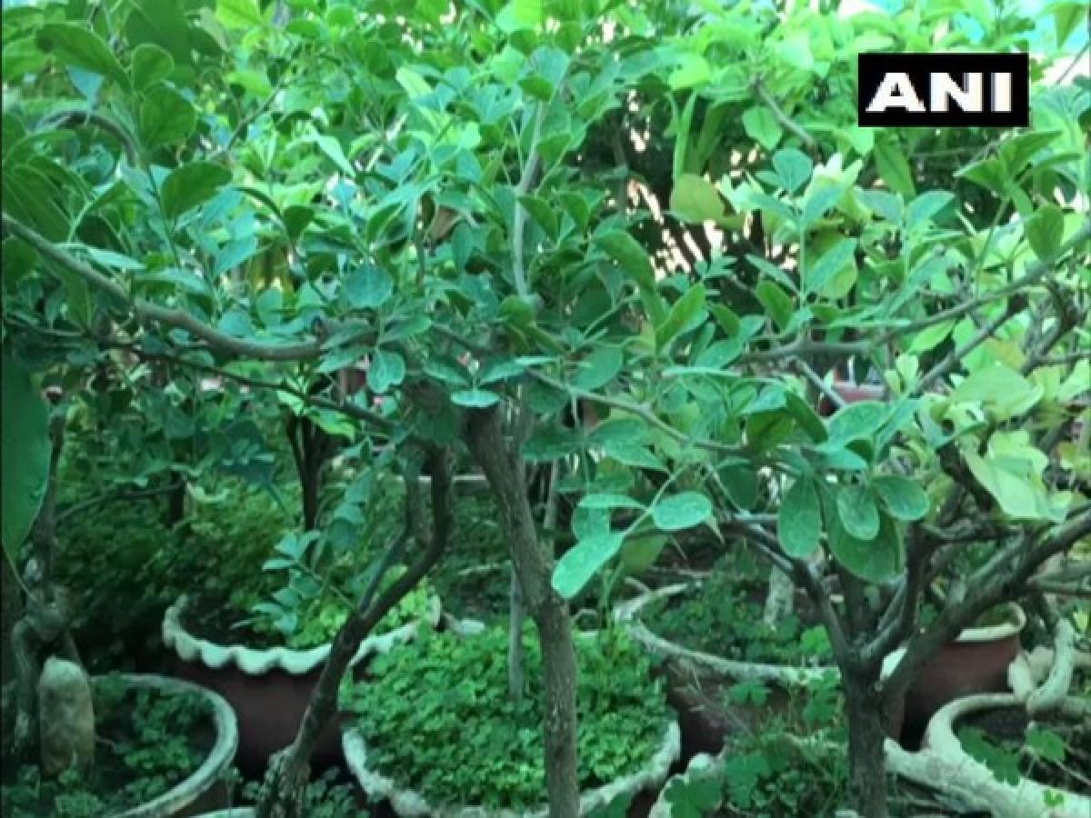 Jabalpur: This man has created mini forest on terrace with over 2,500 bonsais